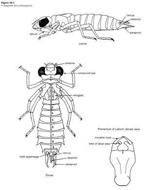 Dragonfly Larva Order Odonata Consejos Para Estudiar Imprimir Sobres Anatomia