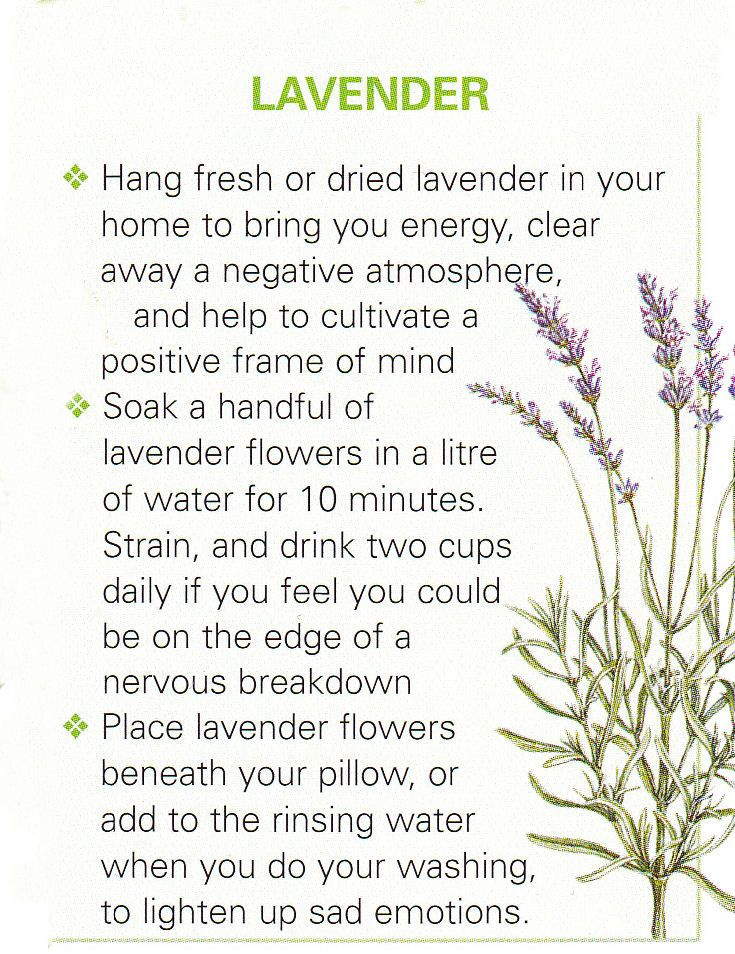 Lavender, a beautiful magic plant