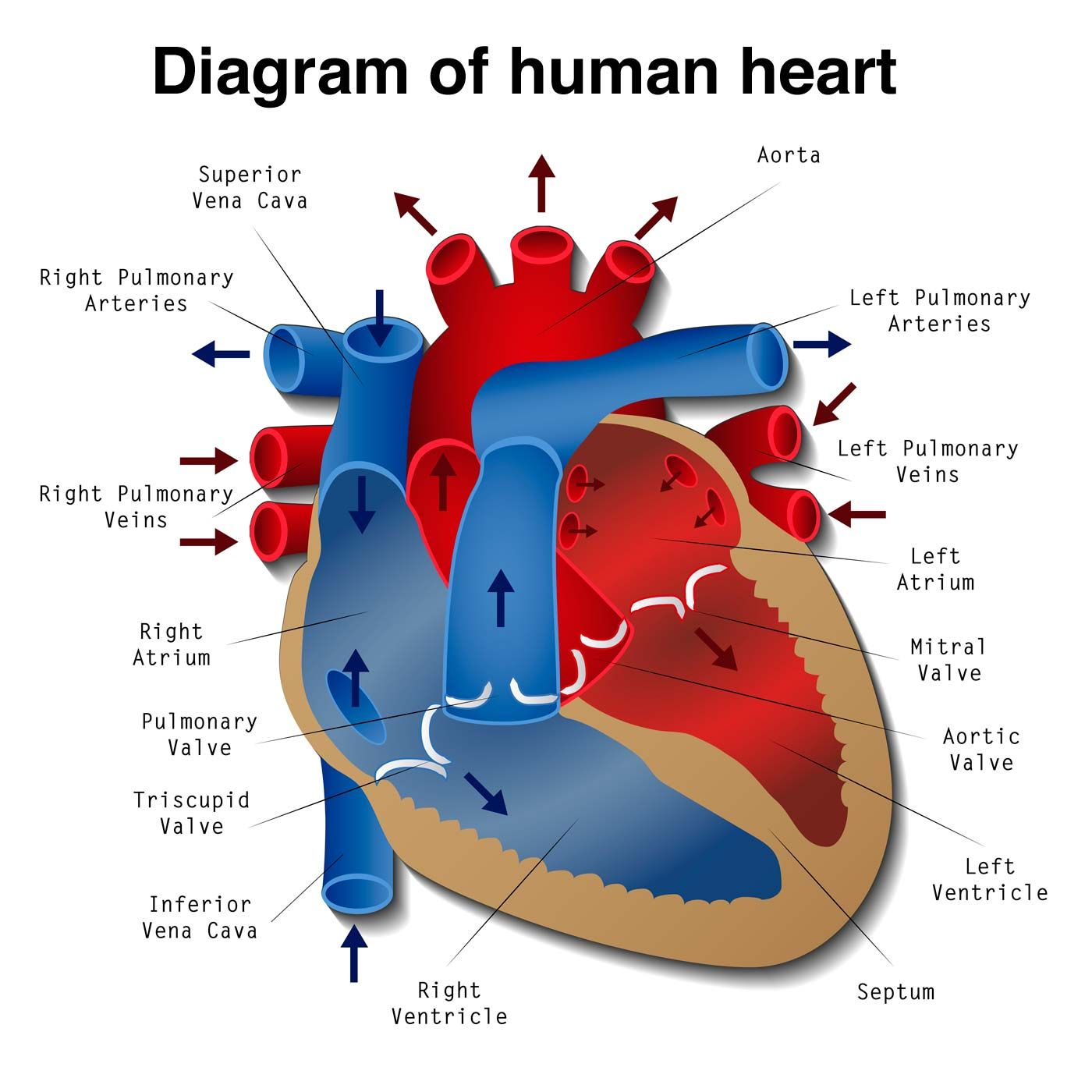 Heart Disease Is A Term That Covers A Range Of Disorders That Affect The Heart Find Out All About The Different Human Heart Diagram Human Heart Heart Diagram