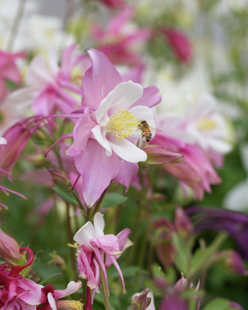 If you want to convince people there are fairies at the bottom of your garden then plant Columbine, these pretty flowers are quite ethereal.