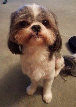 Shih Tzu Shaved Long Tail And Ears Shih Tzu Hair Styles Shih Tzu Puppy Shih Tzu Haircuts