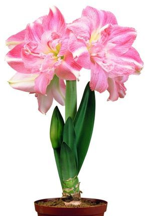Hippeastrum Rozette Amaryllis Christmas Blooming From Van Bloem Gardens Amaryllis Bulb Flowers Container Flowers