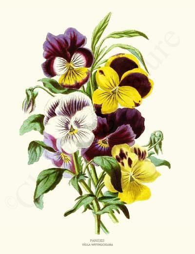 Pansies Flower Illustration Botanical Art Flower Prints Art