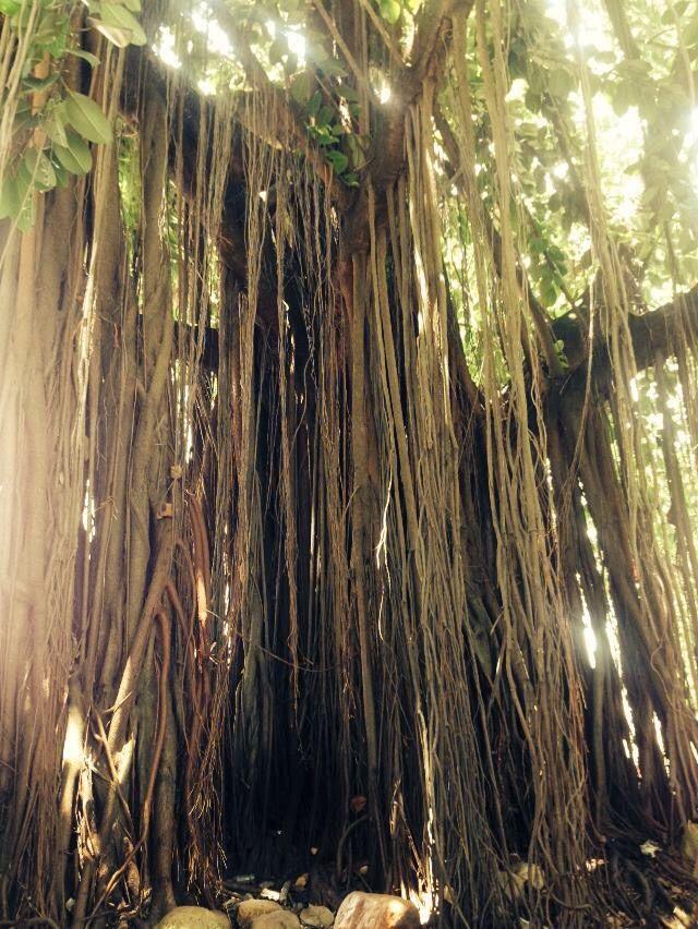 A tree from Florianopolis, Brazil