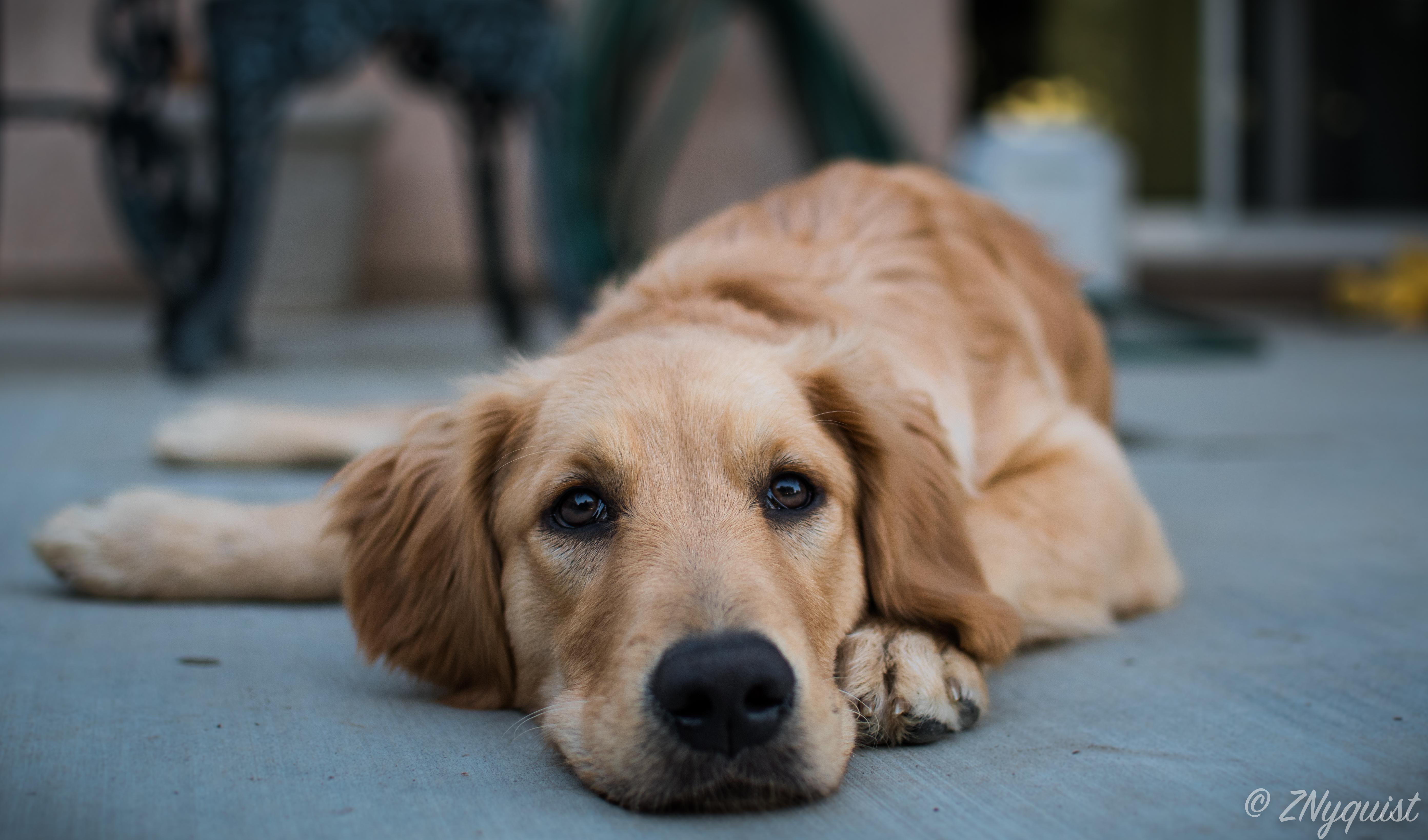 Poppy Aka The Beast Goldenretriever Golden Retriever Dogs