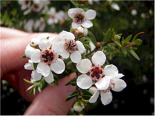 Manuka flowers | Mother nature tattoos, Nature tattoos, Flower tattoos