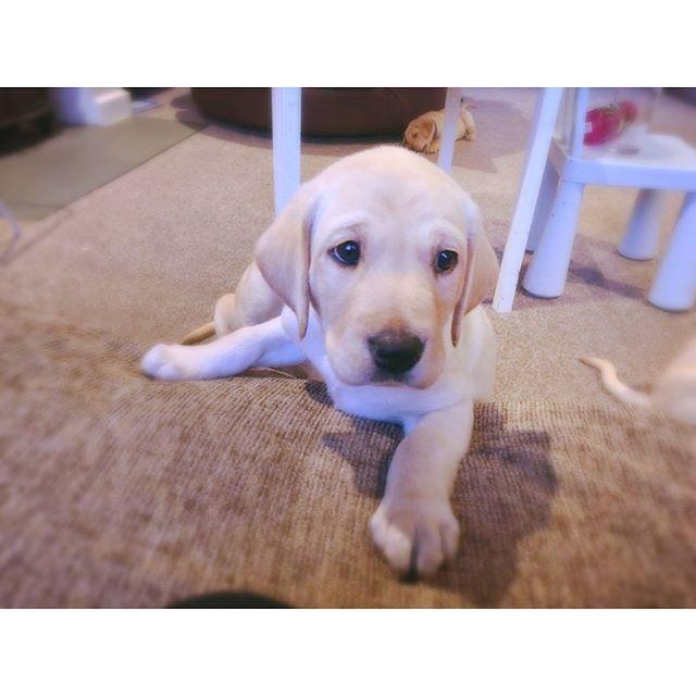 We Promised You A Labrador Puppy For Your Monday Motivation Here You Go You Re Welcome Labrador Puppy Labrador Retriever Puppies Puppy Photos