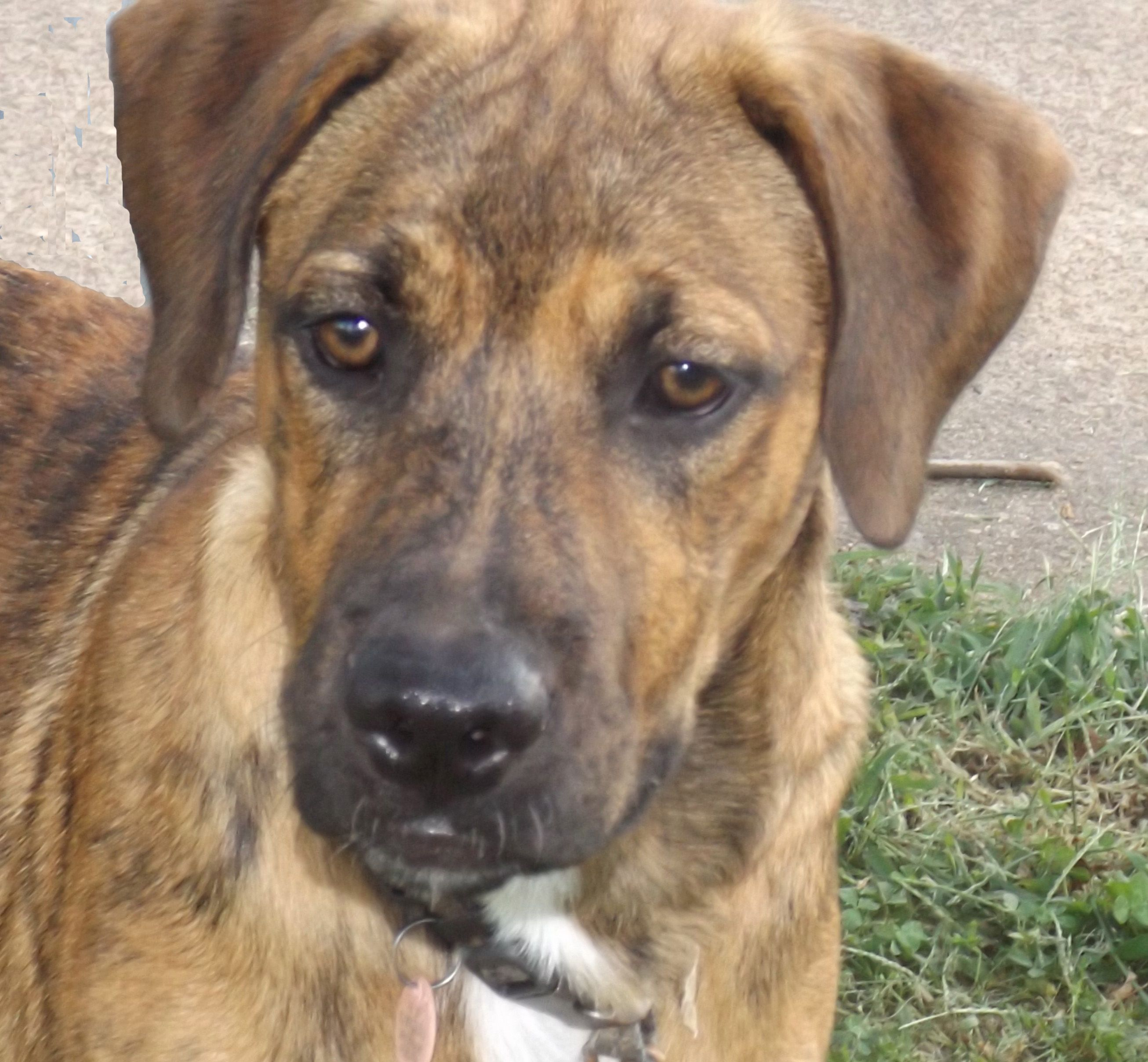 BullBoxer dog for Adoption in Oxford, MS. ADN651251 on