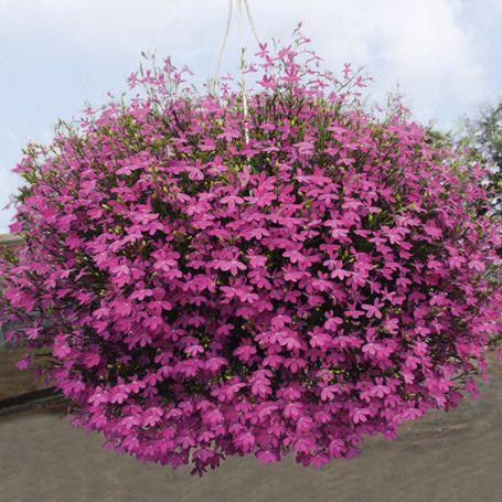 lobelie purple star h ngepflanzen blumen stauden flowers garden und purple. Black Bedroom Furniture Sets. Home Design Ideas