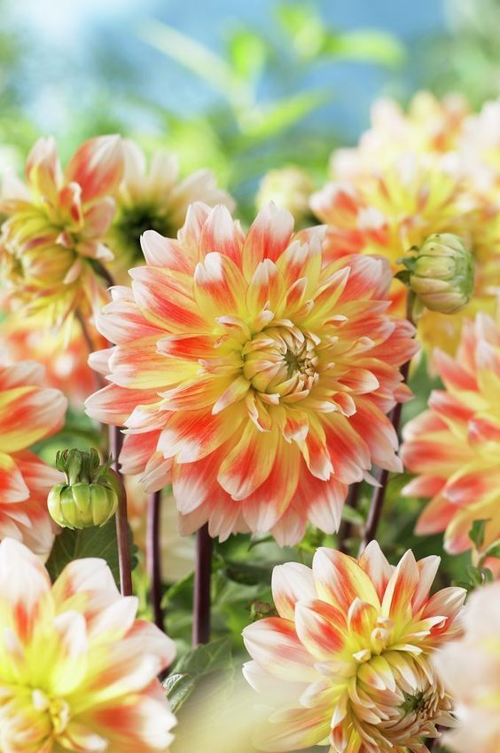 Bunch Of Lovely Colorful Dahlias Flowers Dahlia Flowers Flower Delivery