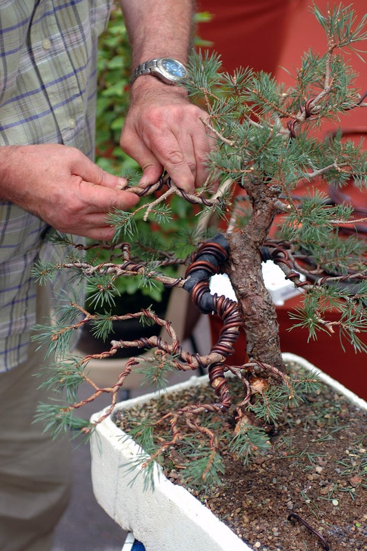How to properly Wire Bind Bonsai Trees to create whatever bonsai shape you desire!