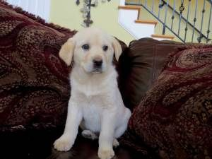 Puppy Pandora Is An Adoptable Great Pyrenees Dog In Coventry Ri Pandora Is A 12 Week Old Great Pyrenees Lab Lab Mix Puppies Great Pyrenees Dog Great Pyrenees