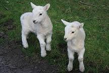 """Résultat de recherche d'images pour """"agneaux animaux"""""""