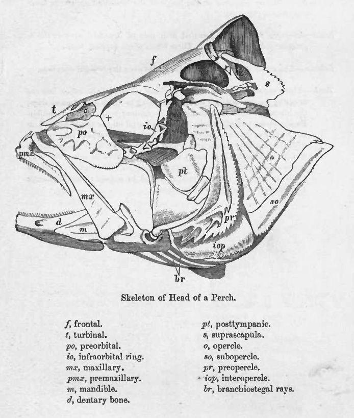 Fish Skull Sketch Book Creature Drawings Fish Anatomy