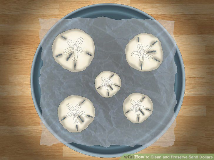 Clean and preserve sand dollars in 2020