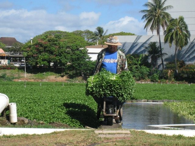 Sumida watercress farm in Aiea, Oahu. One of Chef's favorite ingredients!