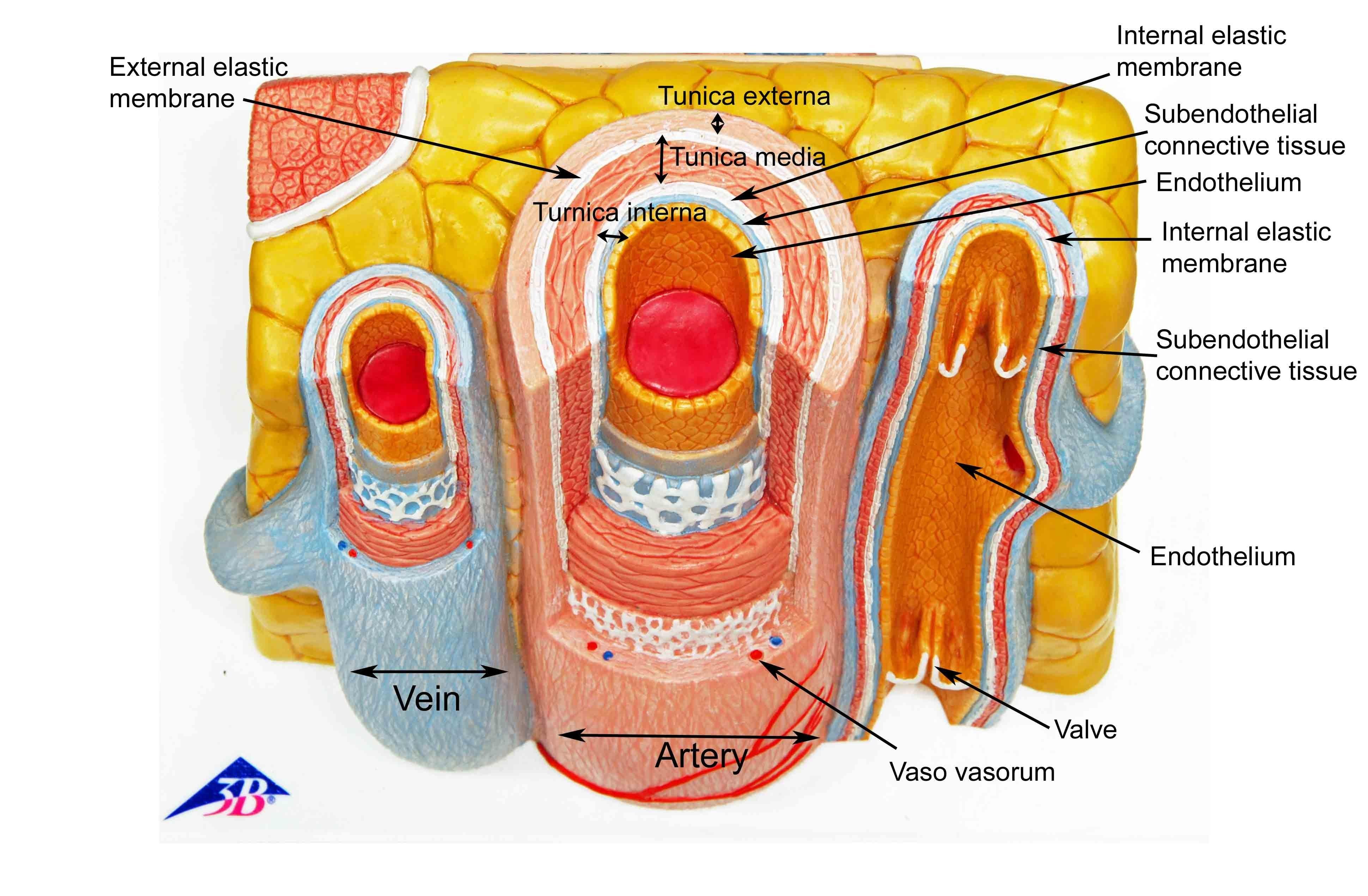 Artery And Vein Model Artery Vein Model Images Anatomy Pinterest