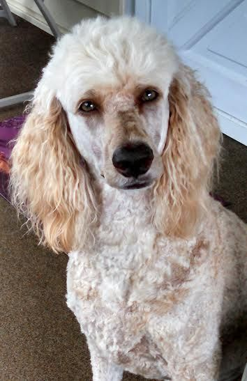 Yogi Beara Poodle Dogs And Puppies Dogs