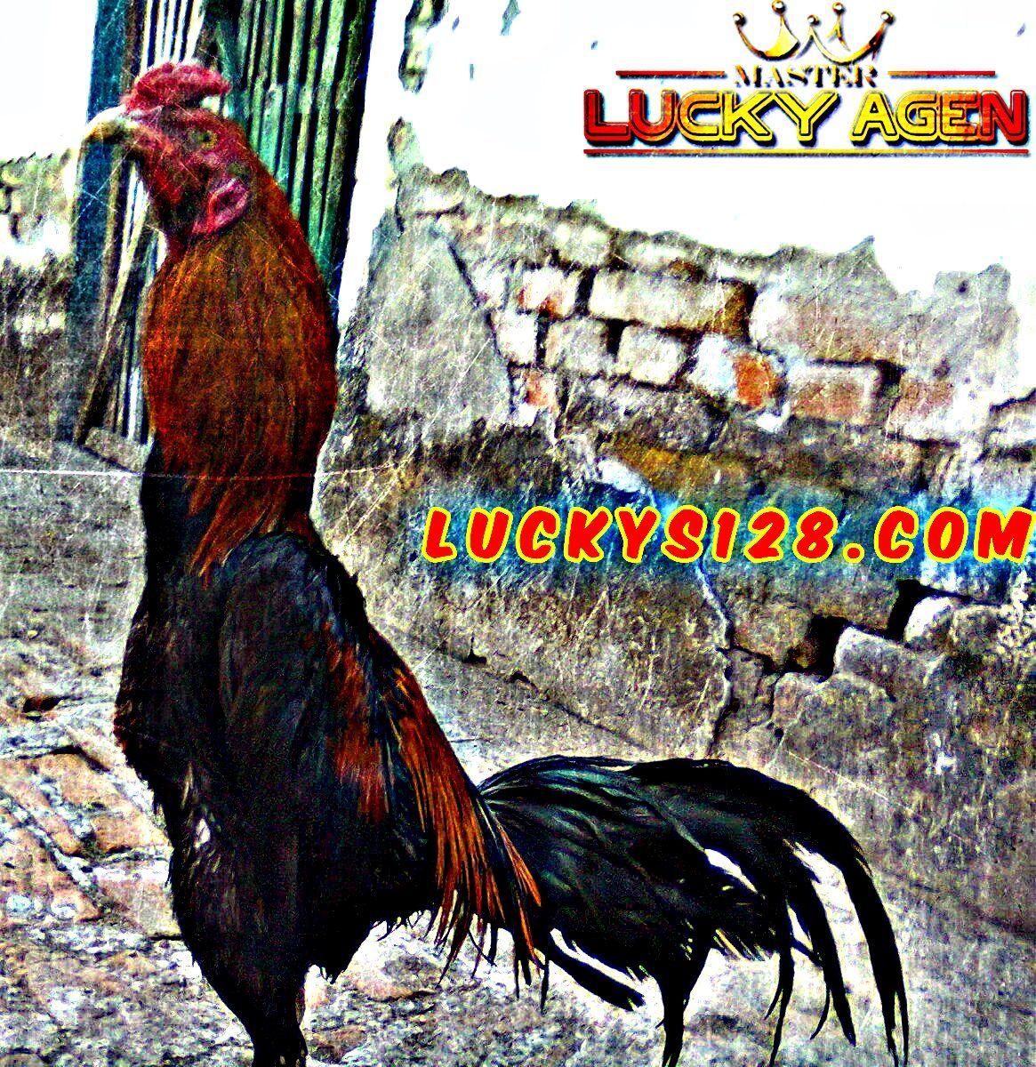 Sabung Ayam Terbaik - Ayam wiring galih merupakan salah satu ... on
