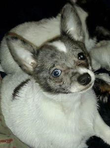 Gorgeous Merle Chihuahua Pom Pups 4 2 Merle 2 Non Merle