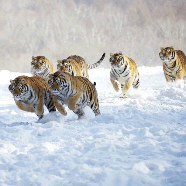 6 Tigres Libres Corriendo En La Nieve Lincanto Damore Dei Poeti Estinti