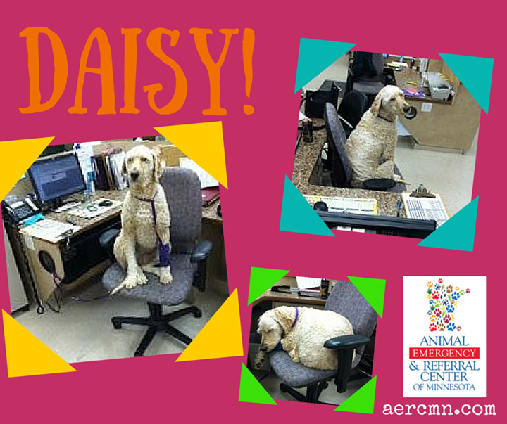 Meet Daisy! She is a 7 1/2 year old FS Goldendoodle. She