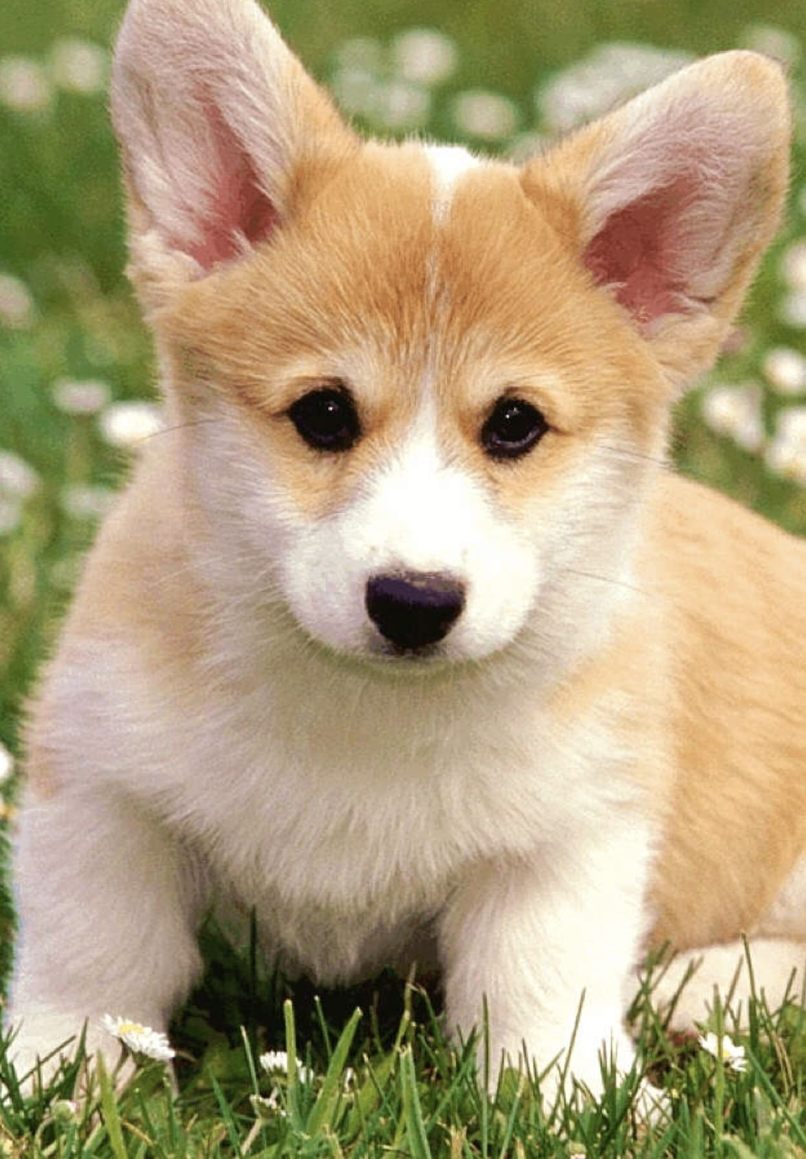 Pin By Lizzy On Cute Corgi Picture Cute Puppies Cute Puppy Wallpaper Puppies