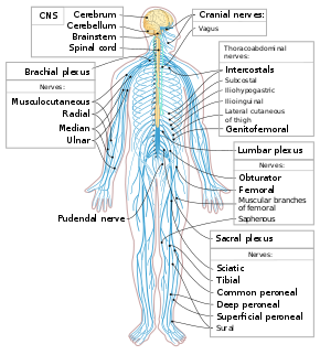 Nervous system diagram eng nerve pinterest human body nervous system diagram eng ccuart Choice Image