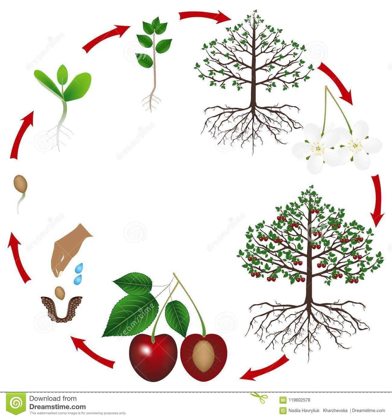 Pin By Ibrahim Shariff On Science Experiment Life Cycles Tree Life Cycle Plant Life Cycle