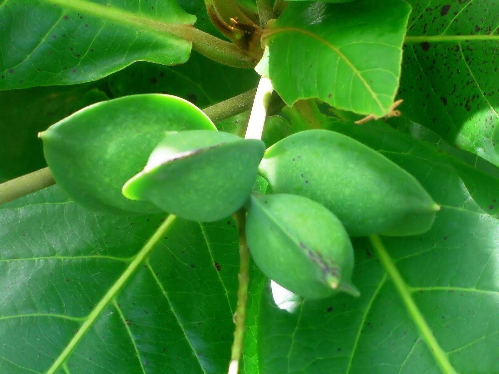 Almond Tree In Spanish Almendra Puerto Rican Fruts1 Arbol De
