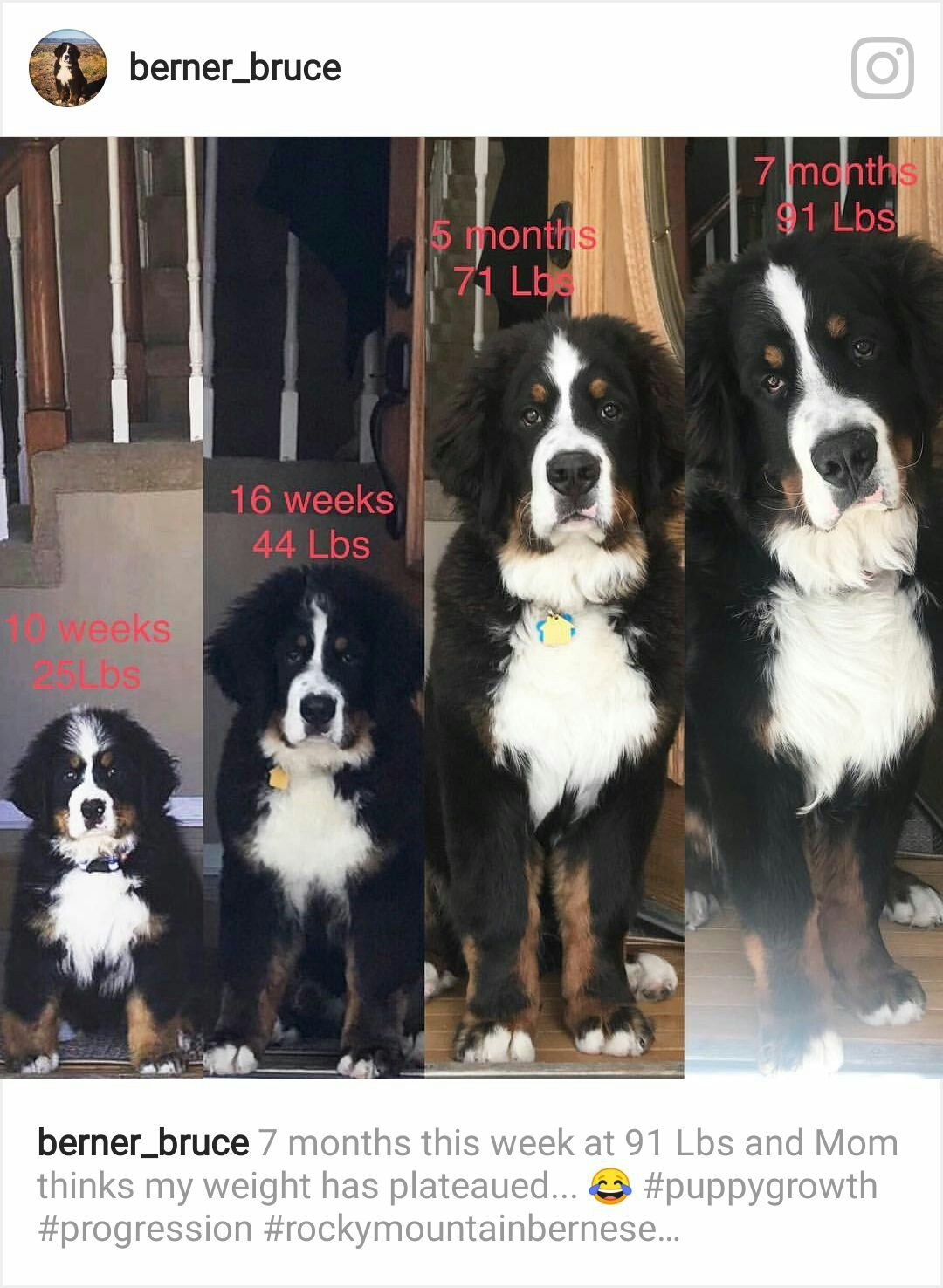 How Fast They Grow Adorable Pinterest Burmese Mountain Dogs