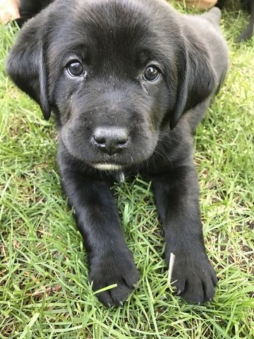 Litter of 5 Labrador Retriever puppies for sale in