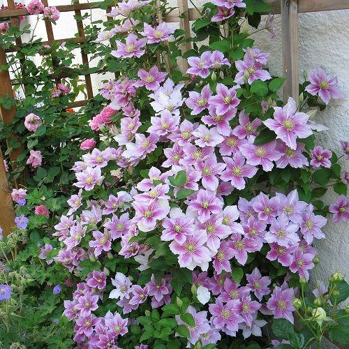Clematide piilu pianta rampicante terrazzi fioriti for Pianta rampicante sempreverde