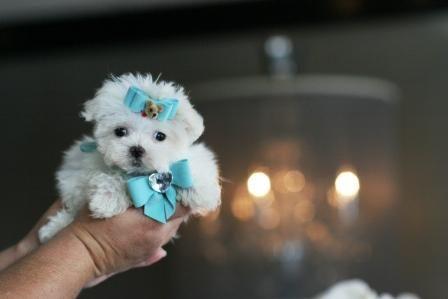 Puppies In West Palm Beach Www Teacuppuppiesstore Com 954 353