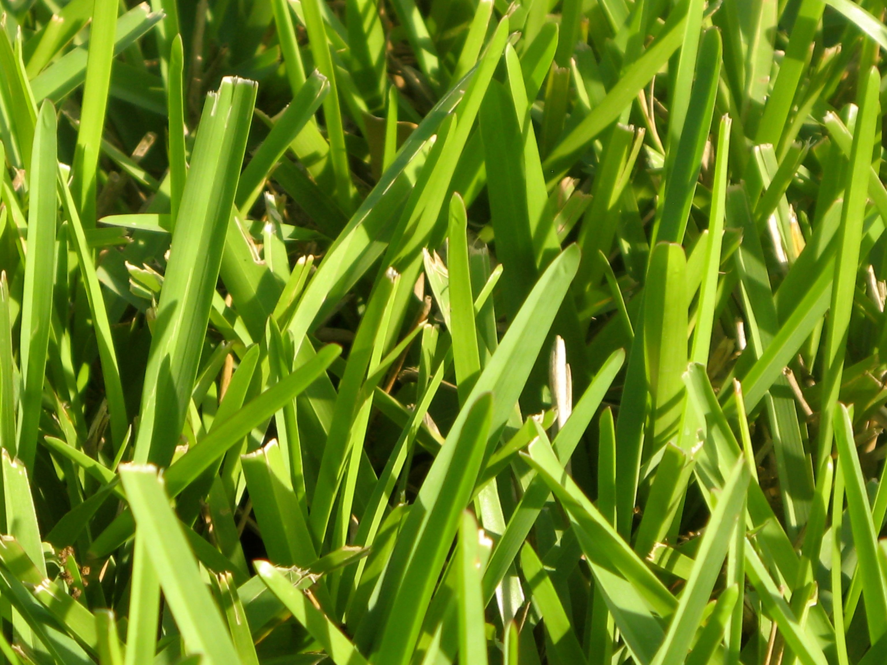 St Augustine Grass Lawn Fertilizer Types Of Grass
