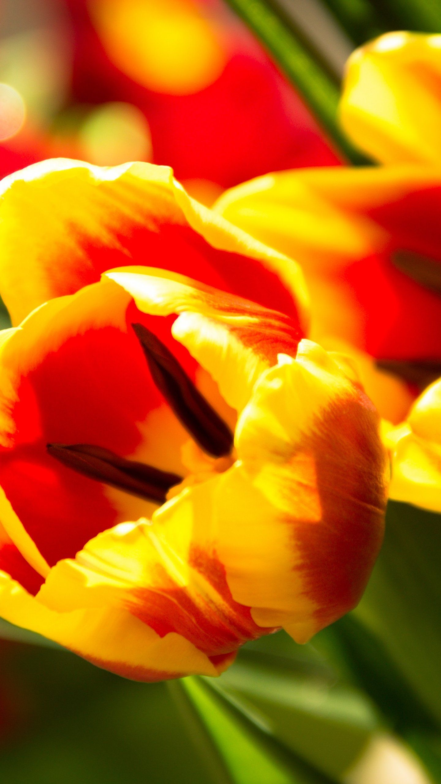 Tulip Wallpaper - iPhone, Android ...