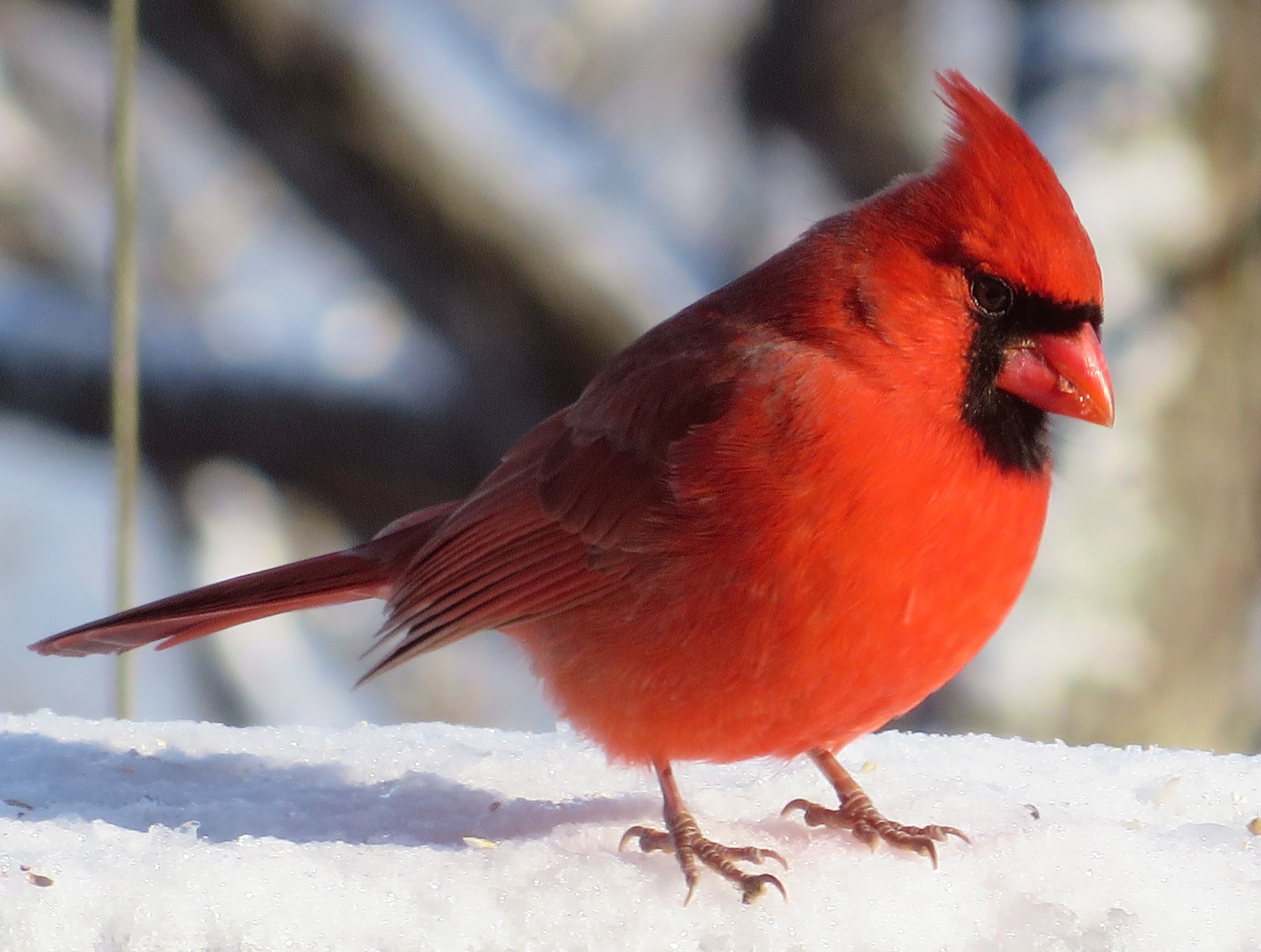 cardinal wings