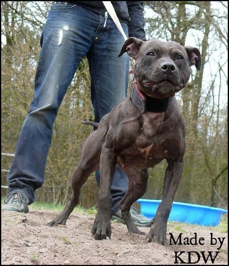 KDW Apbt , Pitbull dog , American Pitbull terrier , Apbt , Pitbull