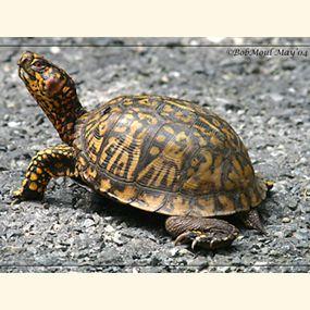 Box Turtles Habitat And Care Turtle Eastern Box Turtle