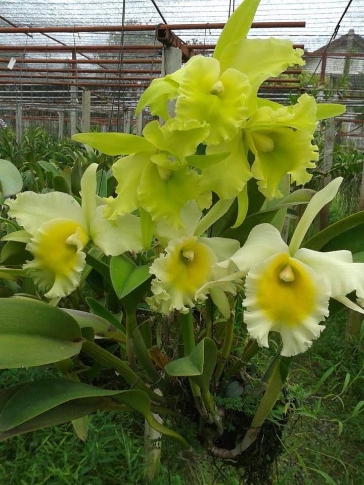 Cattleya Orchid Orquideas Orquideas Raras Plantar Orquideas