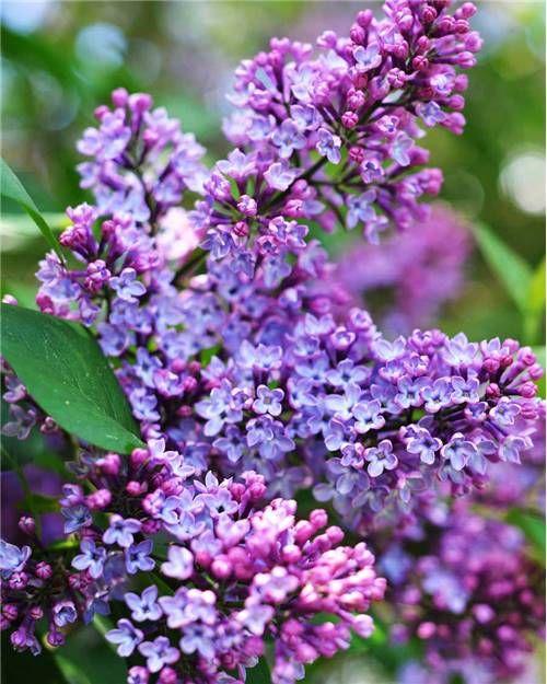 Lilas double lilas Syringa - arbuste à fleurs violettes ...