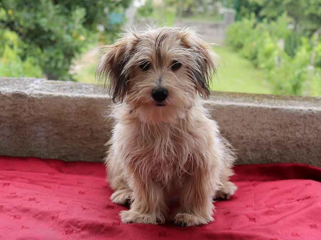 Havanese havanese puppies for sale havanese puppies