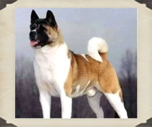 The Largest Of The Japanese Spitz Type Breeds The Akita Pronounced A Kee Ta Is A Powerful Solid Well Proportioned And Akita Dog Dog Breeds American Akita