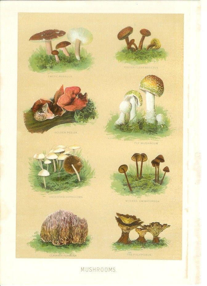 1902 Mushroom Print Vintage Antique Art Illustration Book Etsy Vintage Mushroom Illustration Illustration Art Antique Art