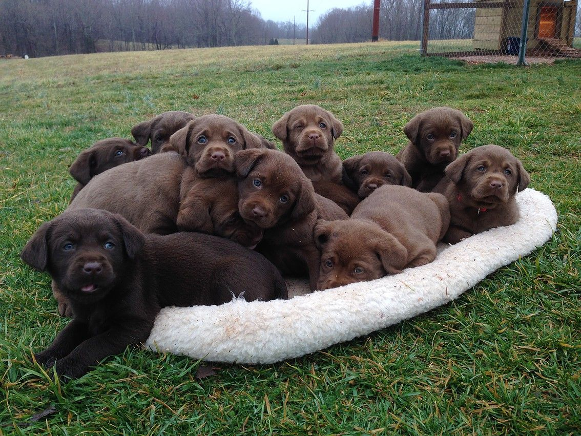 Akc Labrador Retriever Puppies For Sale Hillside Farms Labrador Retriever Yellow Lab Puppies Labrador