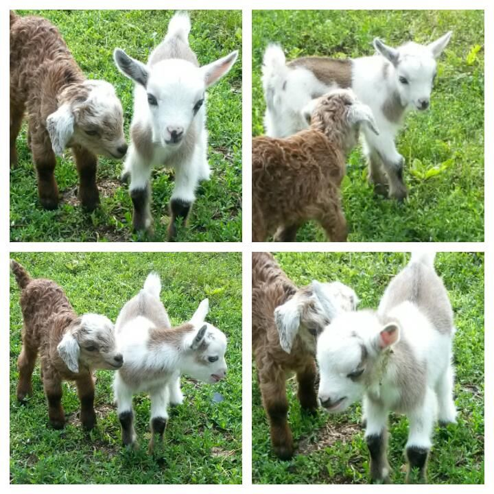 Pygmy Nigerian And Pygora Mini Goats For Sale Future