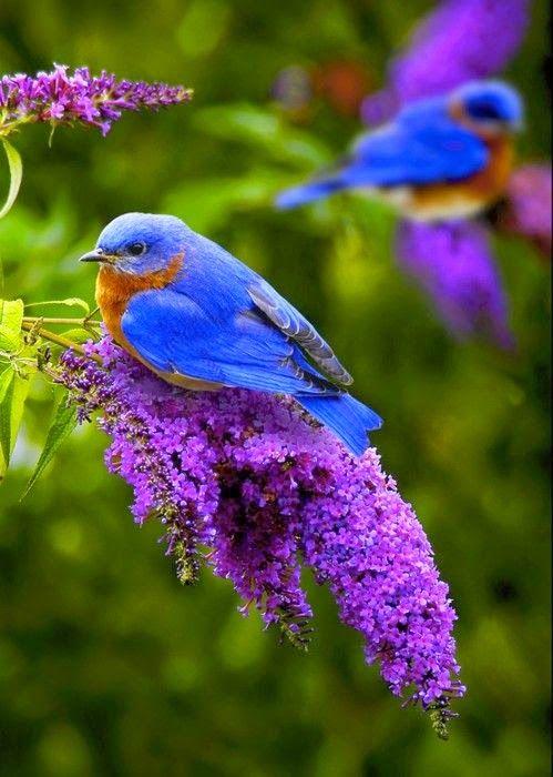 Beautiful Bluebirds..