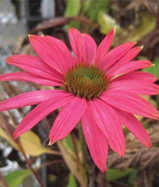 Echinacea pink shimmer perennial full sun zone 5 9 height 34 38 echinacea pink shimmer perennial full sun zone 5 9 height 34 mightylinksfo