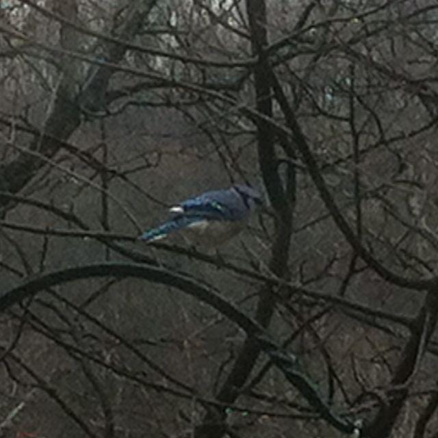 Blue Jay :)