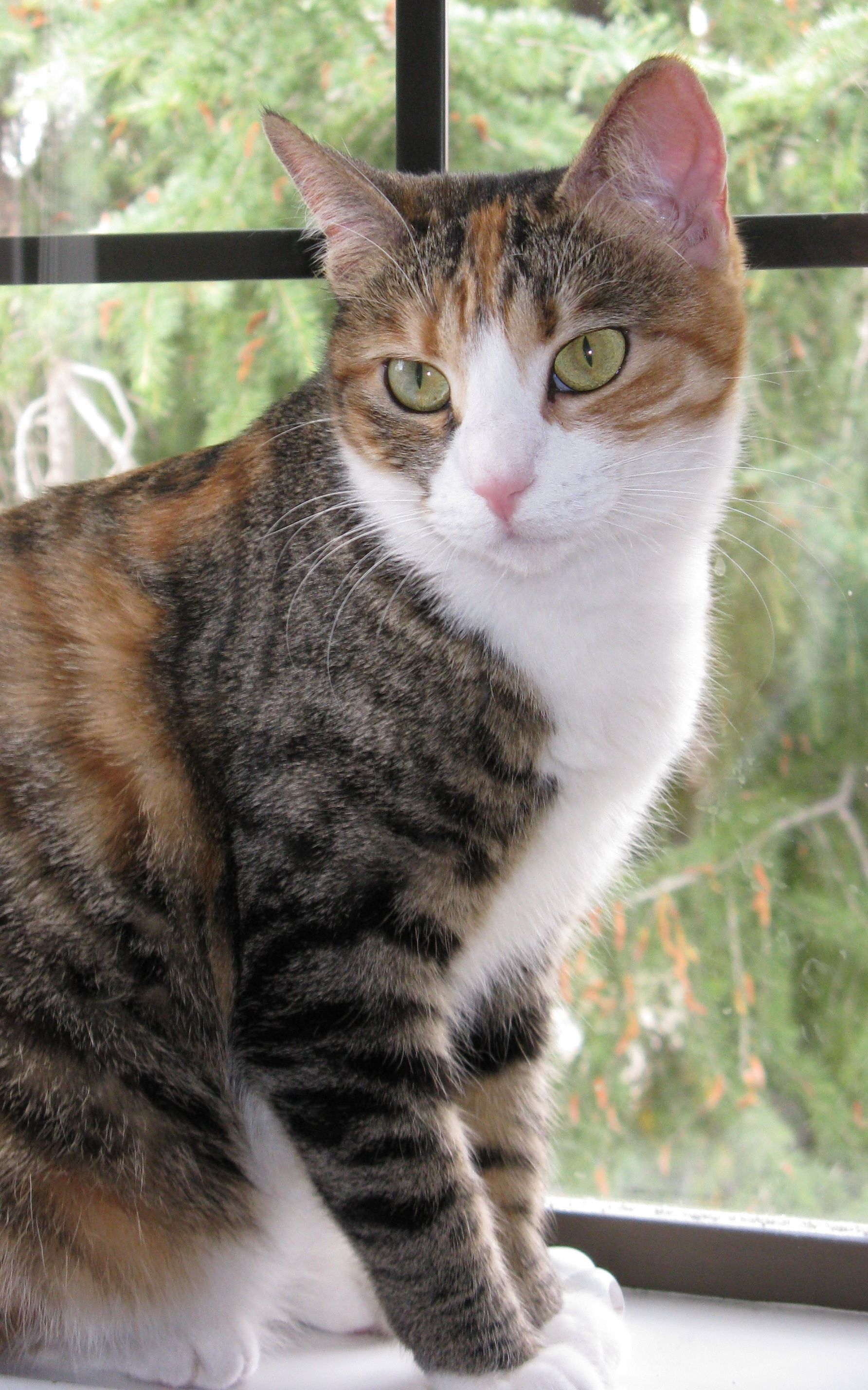 Calico Cats Mixed Breed Calico Tortoiseshell Cat Picture